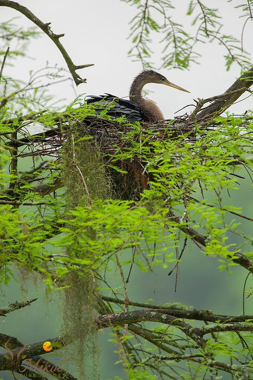 Nesting Anhinga female in rain