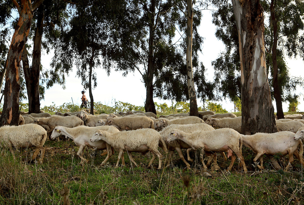 A flock of sheep graze near the road that leads to  the archaeological site of Selinunte, Sicily.