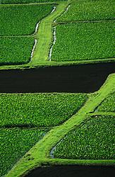United States, Hawaii, Kauai, Hanalei, Tarot fields viewed from above