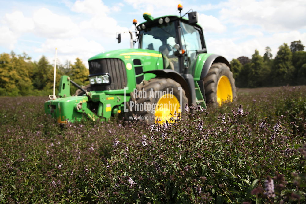 © Rob Arnold.  07/08/2014. Hampshire, UK. Black Mitcham Peppermint being harvested in fields on the Malshanger estate. The peppermint will soon be harvested to be turned into tea and oil, which is used in chocolate making and other food products. The farm grows mint, lavender and camomile as their 'aromatic' crop, along with the staple farm crops such as wheat, barley and oats. The oil is available direct from Summerdown Mint, but is also available from Neal's Yard in London. The tea is sold at leading retailers nationwide, including Booth's, Harvey Nichols, Partridge's & Waitrose. Photo by Rob Arnold