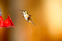 Rufous Hummingbird (Selasphorus rufus) ejects stream of nectar, Gabriola Island, British Columbia, Canada