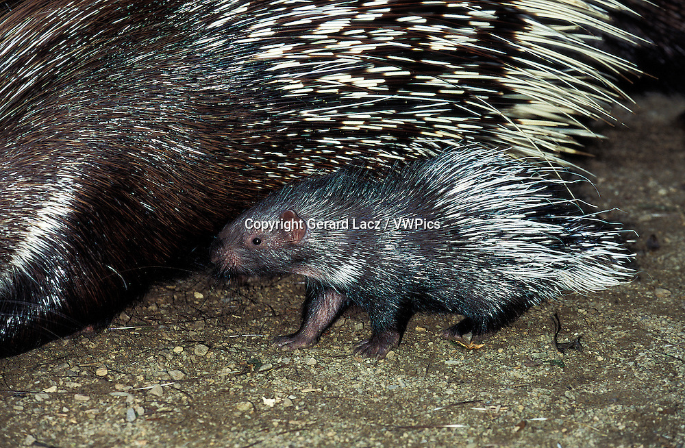 Crested Porcupine, hystrix cristata, Female with Young