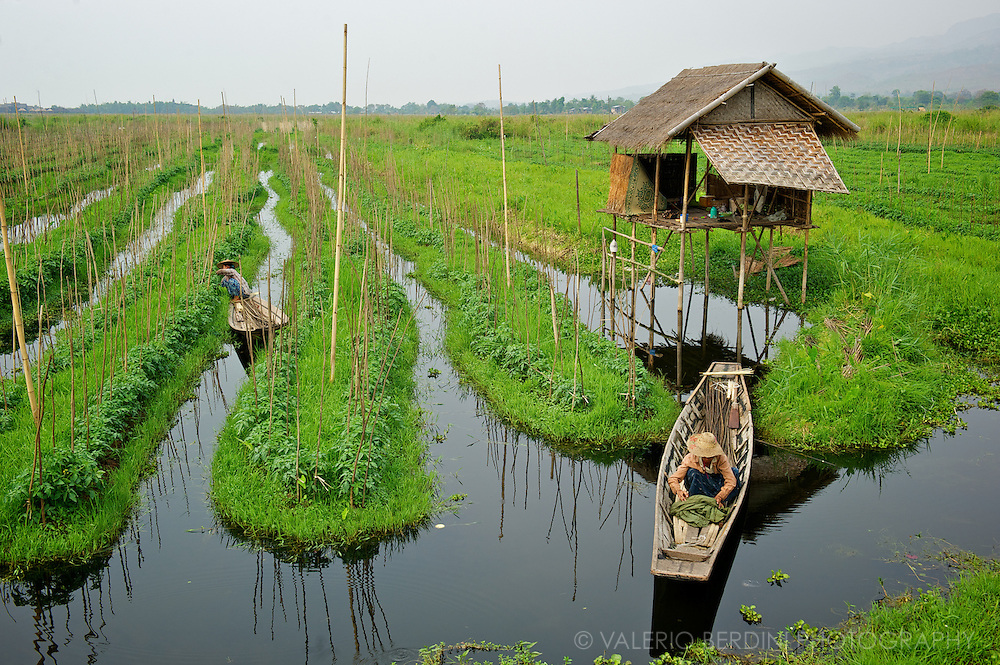 Farmers grow tomato plants on floating gardens. These fertile gardens are skilfully made from lake-bottom weeds turned into floating beds anchored to bamboo poles.