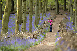 April 25, 2018 - Ashridge, HERTFORDSHIRE, UK - ASHRIDGE, UK.  A visitor takes a photo from a pathway amongst the bluebells in bloom in Dockey Wood, Hertfordshire.   As the popular location experiences high numbers of visitors, the National Trust has imposed an entrance fee in recent years and, this year, has built barricades of twigs and branches to clearly demarcate pathways in order to protect the delicate flowers from being trampled. (Credit Image: © Stephen Chung/London News Pictures via ZUMA Wire)
