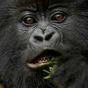 Mountain Gorilla (Gorilla beringei beringei) <br /> Virunga Volcanoes - Parc National des Volcans, Rwanda <br /> <br /> Ikaze is a member of Beetsme&rsquo;s Group, which is a research group studied by the Karisoke Research Center in Parc National des Volcans, Rwanda. The work done at the Karisoke Research Center in Rwanda represents one of the longest continual studies of free-living primates in the world. Our knowledge of mountain gorillas constitutes most of what we know about the behavioral ecology of the entire gorilla genus. Research and scientific understanding are fundamental inputs to conservation strategies, management planning, monitoring, and evaluating success in conservation initiatives.