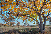 Cottonwood tree colored in Fall