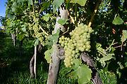 Nonnenhorn, Weintrauben am Weinberg Sonnenbichl, Bodensee, Bayern, Deutschland