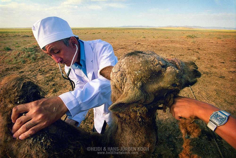 Mongolei, MNG, 2003: Kamel (Camelus bactrianus). Tierarzt Dr. Erdenebilek untersucht in der südlichen Gobi ein Fohlen mit dem Stethoskop. Das Fohlen hat einen Abzeß am Kopf. Ein Assistent hält das Fohlen am Boden fest. Der Doktor trägt einen weißen Kittel und eine weiße Haube. | Mongolia, MNG, 2003: Camel, Camelus bactrianus, Veterinarian Dr. Erdenebilek in the middle of the Gobi investigating a foal with a stethoscope, foal has an abscess on its head, assistant holding the foal to calm it down, Dr. Erdenebilek wearing a white cap and a frock, South Gobi. |