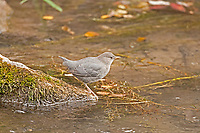 Just out of the stream this American Dipper decides to rest for a little bit.