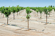 Almond trees in a farm field in Pixley. Almond farming requires a lot of water, it takes one gallon to produce one almond, and the farmers have received a lot of criticism for not conserving water during the drought. Almond farming is only a small portion of the California agriculture, but it brings a huge profit. Although requiring lots of water, modern irrigation systems limit the waste.  In general, vegetable farming requires only a fraction of the water that is needed for livestock farming.