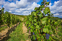 France, Centre-Val de Loire, Cher (18), le Berry, Sancerre, vignoble // France, Cher 18, vineyard of Sancerre