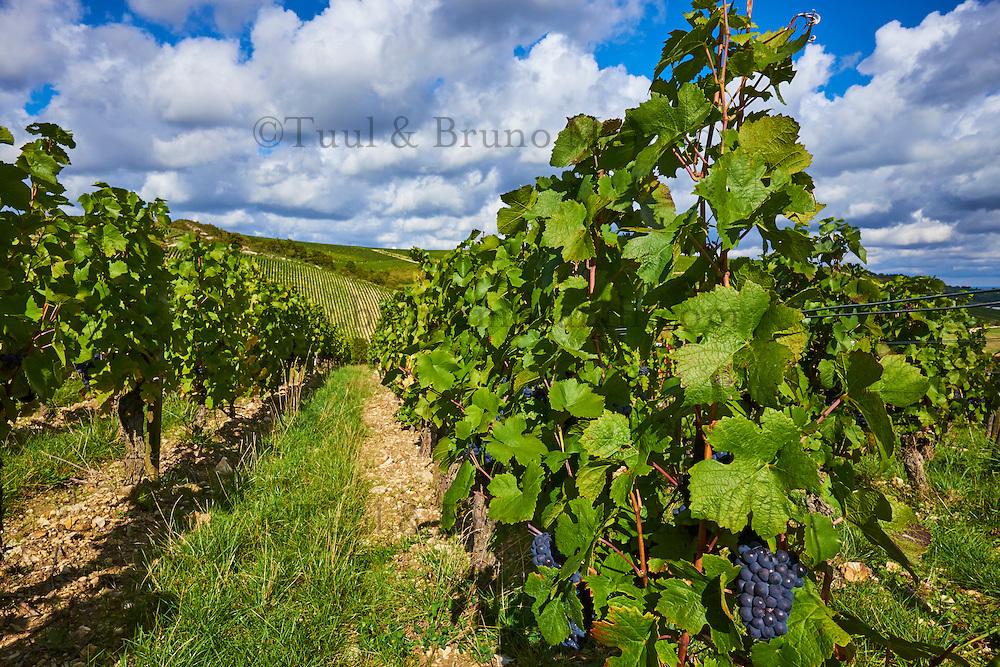 France, Centre-Val de Loire, Cher (18), le Berry, Sancerre, vignoble // France, Cher 18, vineyard of Sancerre
