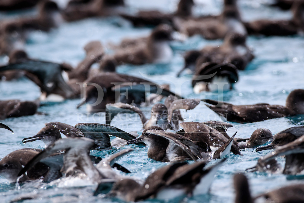 A raft of Hutton&rsquo;s shearwater (Puffinus huttoni)  also known as the Kaikōura tītī off the coast of Kaikoura, New Zealand.<br /> Saturday 01 October 2016<br /> Photograph Richard Robinson &copy; 2016