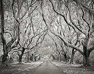 Southern Oak Trees - B&W