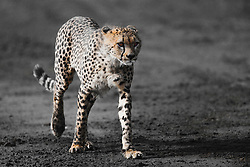 A hunting cheetah walking in the bush,  (Acinonyx jubatus), Ndutu, Ngorongoro Conservation Area, Tanzania, Africa