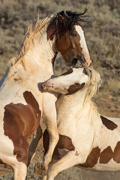 Almost inseparable, the two blue-eyed brothers, Rebel and Tonkawa, have been doing their best to gain a family of their own. They haven't been successful yet, but spend a lot of time honing their fighting skills on each other.
