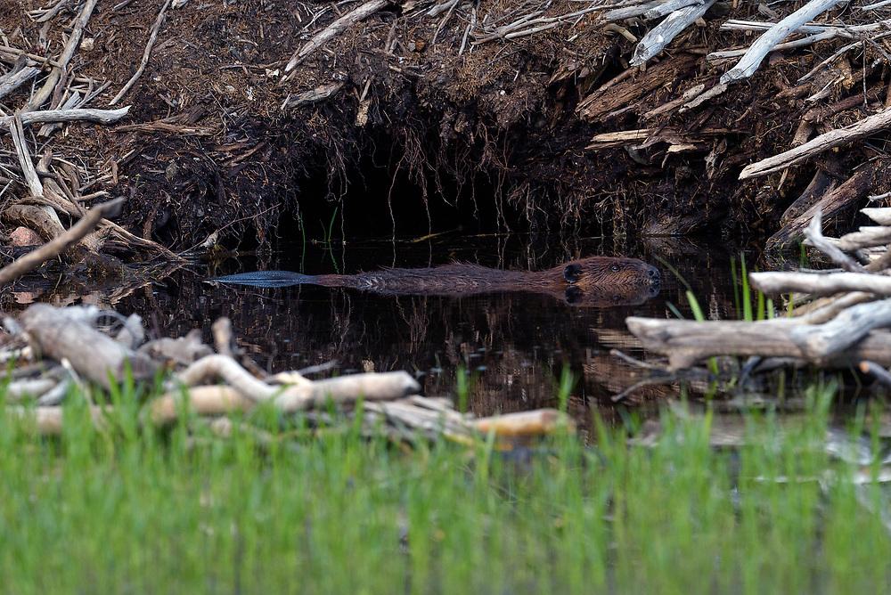 American Beaver on Jordan Pond, Acadia NP, Maine