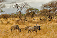 a group of wildebeest looking to the camera during a safari in tarangire national park, tanzania