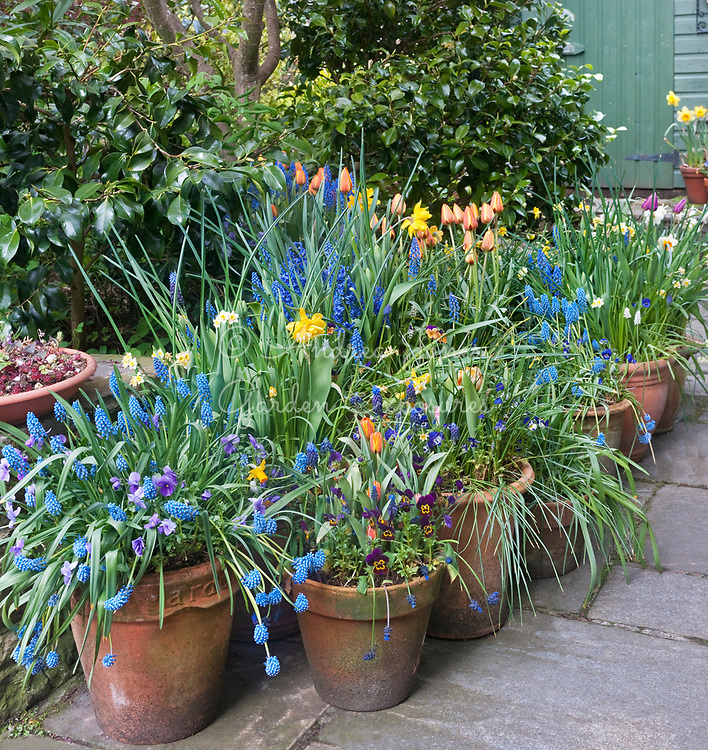 Containers planted with tulips, pansies, daffodils and grape hyacinths below an Acer palmatum cv (Japanese maple) tree