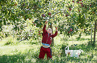 Apple picking at Smith Orchard in Belmont, NH.     Karen Bobotas for the Laconia Daily Sun