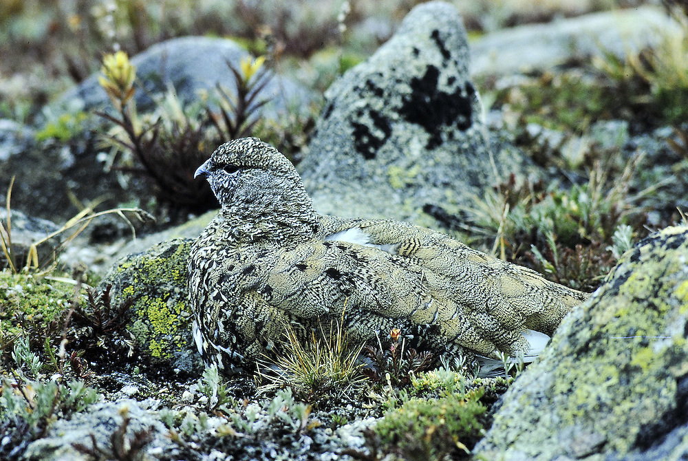 A perfectly camouflaged bird sits motionless among the lichen covered rocks of an alpine boulder field.<br />