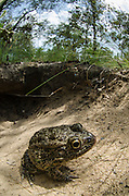 Gopher frog (Rana capito) at burrow<br /> The Orianne Indigo Snake Preserve<br /> Telfair County, Georgia<br /> USA<br /> HABITAT & RANGE: