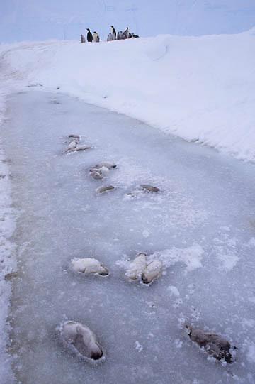 Emperor Penguin, (Aptenodytes forsteri) Dead chicks frozen in ice. Riiser Larsen ice shelf. Antarctica.