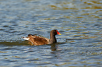 Common Moorhen (Gallinula chloropus), Hollow Ponds, Leytonstone, London , Essex, England