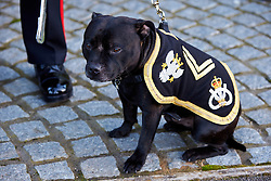 © Licensed to London News Pictures.  14/11/2013. CARTERTON, UK. The regimental mascot (a staffordshire bull terrier) pictured ahead of the repatriation ceremony for Warrant Officer Class 2 Ian Michael Fisher from the 3rd Battalion, the Mercian Regiment. He is the 446th UK service member to die in Afghanistan since operations began. Photo credit: Cliff Hide/LNP