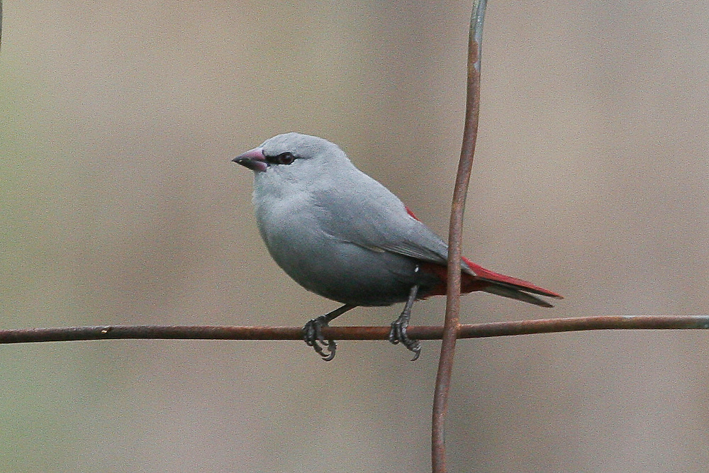 Lavender Waxbill photo Hawaii