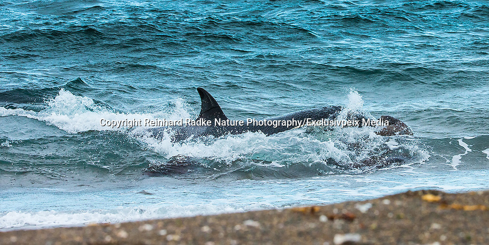 """STUNNING IMAGES CAPTURE ORCAS AS THEY DRIVE UP ON TO BEACH TO HUNT FOR SEA LION'S<br /> <br />  The hunts were taken at Valdés peninsula, Punta Norte. There are some beaches at Valdés, where very few orca whales are adapted to """"voluntary beaching"""" to get close enough to young sea lions, which play in the shallows. This is a dangerous undertaking for the whales, too. If they can't get back to deeper water they might die. Two incidents of a whale being saved by people occurred here. They spilled water over them while they were stuck, not to have them drying out. Next hightide freed them. At any given time there were less than 10 individuals capable of performing this art of hunting! Presently, this number might be a little higher. Voluntary beaching was recorded first in the seventies last century in that area. It is most probably the only area, where whales learned this technique. There are only few scattered records of this behavior from one place in the Indian Ocean, but that is not scientifically confirmed. So this is a very rare behavior in whales and it is a good example of the intelligent way these animals react to their environment.<br /> <br /> PHOTO SHOWS:  Here the attack seems to have been successful, but the whale is very close to the shore.  <br /> ©Reinhard Radke Nature Photography/Exclusivpeix Media"""