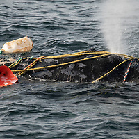 Fishing ropes wrap over the head and blowhole of a severely entangled North Atlantic right whale (Eubalaena glacialis) in the Gulf of Saint Lawrence, Canada. Fishing gear entanglement is a leading cause of death in North Atlantic right whales. IUCN Status: Endangered.