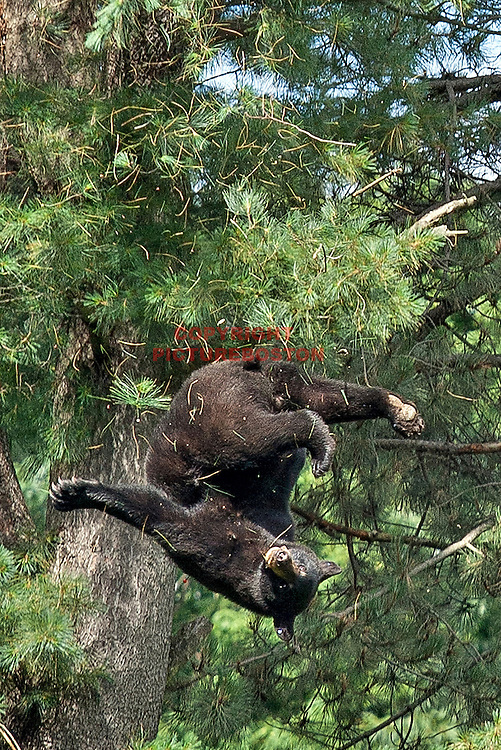 A Black Bear is seen falling from a tree believed to be at least 80 feet tall, near Hammond St in Brookline today, June 26, 2012. He had just been tranquilized by Environmental Police officers. The bear survived the fall and was driven far from the city limits.