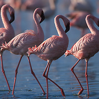 Kenya, Lake Nakuru National Park, Lesser Flamingoes (Phoeniconaias minor) flock in Lake Nakuru in early morning