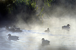 © Licensed to London News Pictures. 06/11/2014<br /> Ducks in the cold morning mist.<br /> Freezing cold weather and a cold mist over the River Cray this morning at Foots Cray Meadows,Sidcup,Kent.<br /> (Byline:Grant Falvey/LNP)