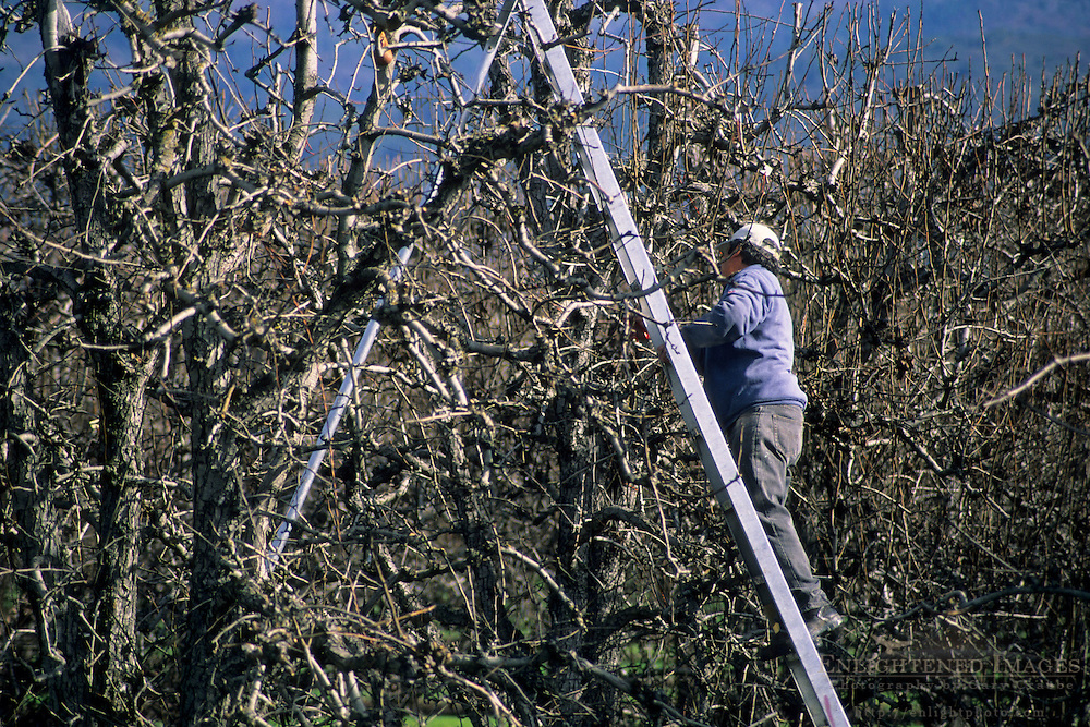 Clipping branches on orchard trees near Clear Lake, Lake County, California