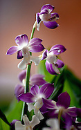 A stalk of orchid flowers in delicate purple violet and white