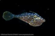 Juvenile Scrawled Filefish, Aluterus scriptus, photograped during a blackwater dive offshore Palm Beach, Florida, United States.
