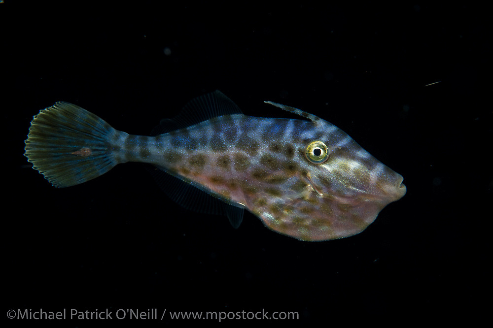 Juvenile Scrawled Filefish, Aluterus scriptus, photograped during a blackwater dive offshore Palm Beach, Florida, United States.