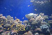 Israel, Eilat, underwater coral reef