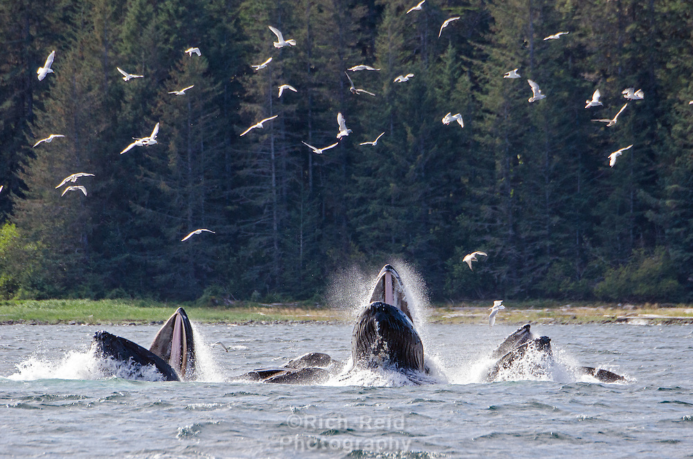 Humpback whales erupting from the water while bubblenet feeding at Morris Reef in Chatham Strait, Southeast Alaska.