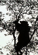 USA, California, Black Bear in Oak Tree, Sequoia and Kings Canyon National Park