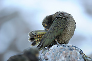 Kea (Nestor notabilis) Arthur's Pass, New Zealand | Kea oder Bergpapagei (Nestor notabilis) - Gefiederpflege ist besonders wichtig um die Federn immer wasserabweisend zu halten. Arthur's Pass, Neuseeländische Alpen, Neuseeland.