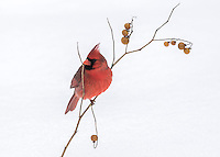 Cardinal Perched Above the Snow