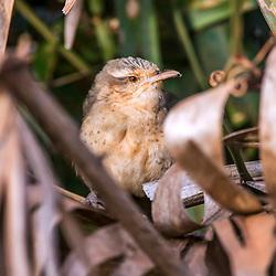 """Catatau (Campylorhynchus turdinus) fotografado em Corumbá, Mato Grosso do Sul. Bioma Pantanal. Registro feito em 2017.<br /> <br /> <br /> <br /> ENGLISH: Thrush-like Wren photographed in Corumbá, Mato Grosso do Sul. Pantanal Biome. Picture made in 2017."""