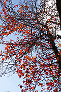 Red and Orange Autumn coloured leaves with blue sky background