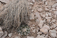 Living Rock Cactus, (Ariocarpus fissuratus), Big Bend National Park, Texas