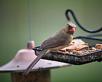 Female Northern Cardinal. Image taken with a Nikon D5 camera and 600 mm f/4 VR lens (ISO 180, 600 mm, f/4. 1/1250 sec)