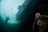 Under the house, sea urchin, Klas Malmberg.Atlantic marine life, Saltstraumen, Bodö, Norway.Model release by photographer