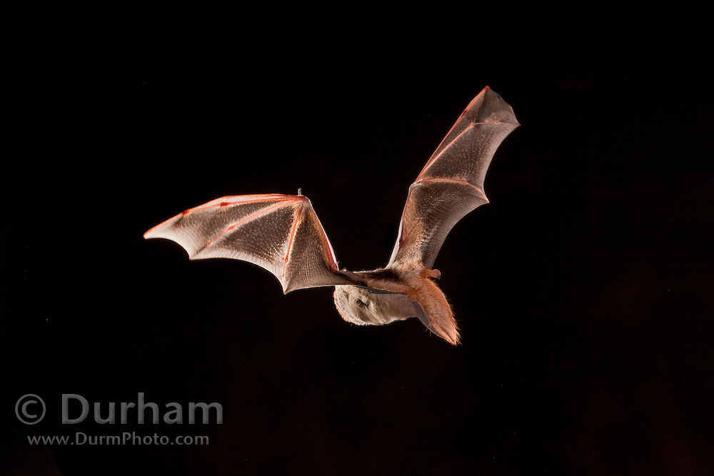 Female eastern red bat (Lasiurus borealis), Photographed near the Conasauga River in the Chattahoochee National Forest, Georgia.